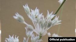 Новому растению пока не дали название. Фото с сайта Академии наук Узбекистана.