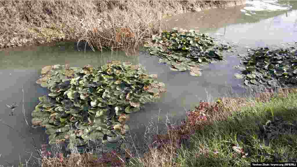 Канал біля ставка сухий, але в одному місці заповнений водою. Можливо, ґрунтовими водами ця яма поповнюється. У воді плавають кілька островів з латаття