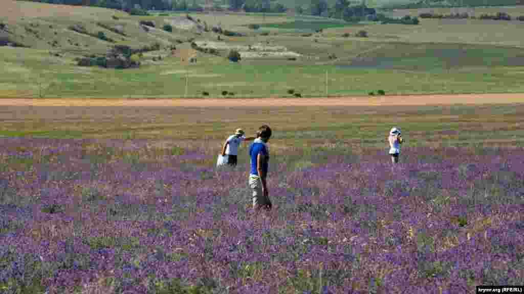У період цвітіння лаванди кримчани й туристи роблять фотографії та насолоджуються запахом рослини