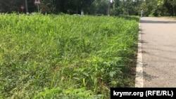 Амброзия на газонах Симферополя