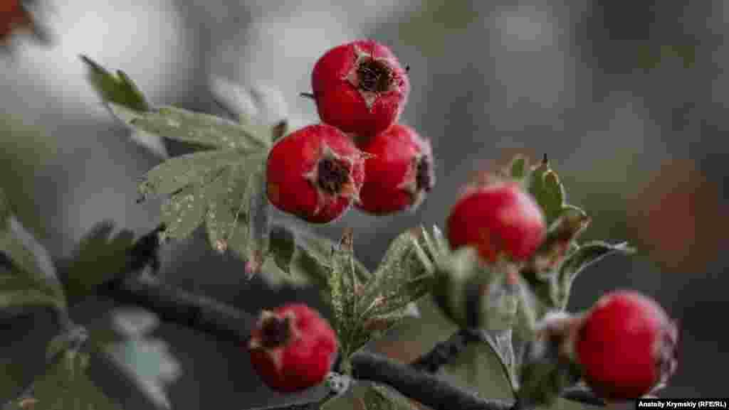 «Абориген» Ангарского перевала – сладкий крупноплодный боярышник