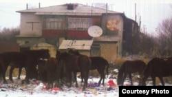 Лошади пасутся возле мусорного контейнера. Талдыкорган, март 2011 года. Фото предоставлено газетой «Вечерний Талдыкорган».