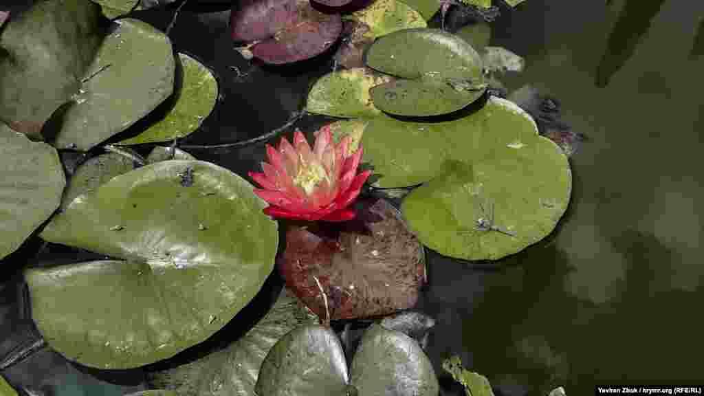 В пруду цветут кувшинки