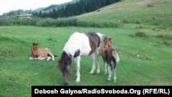 У Верховині відбулася виставка гуцульських коней