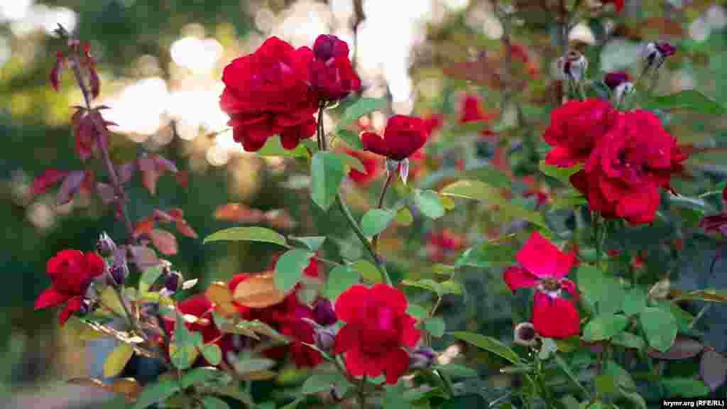 Гібридна троянда Grand hotel – головна квітка тутешнього розарію