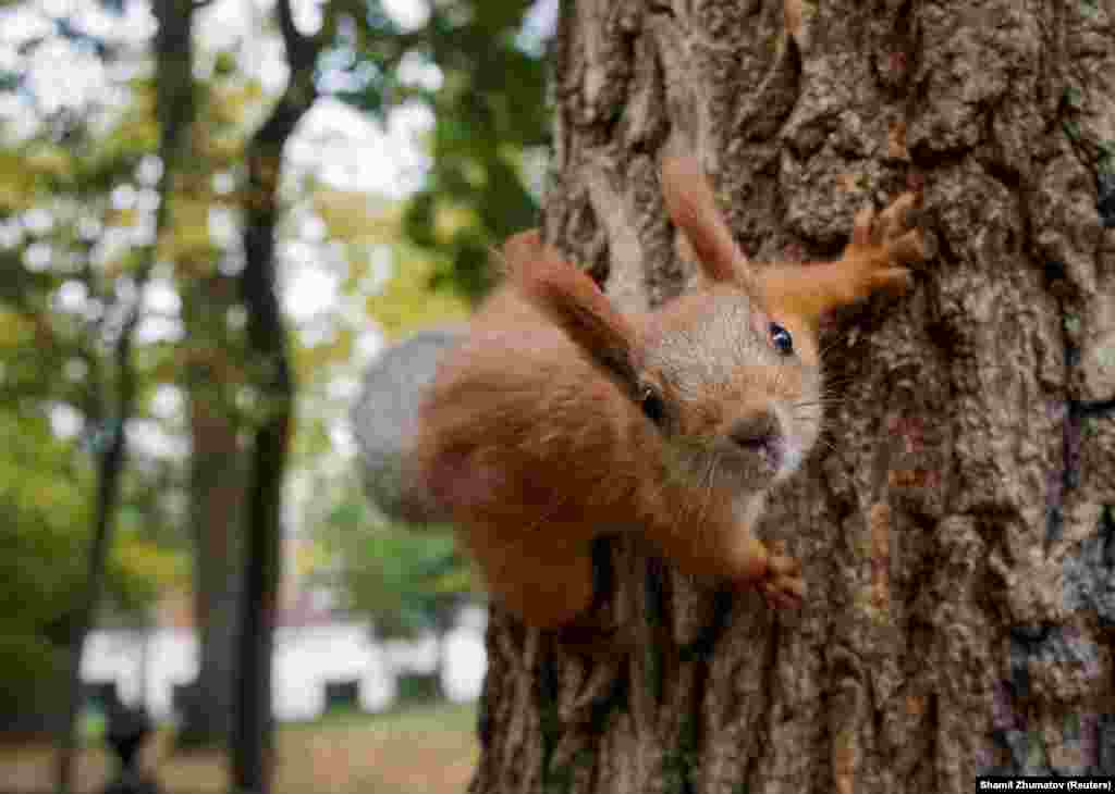 A curious squirrel clambers on a tree at a park in Almaty, Kazakhstan. (Reuters/Shamil Zhumatov)