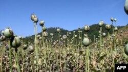 Fusha të mbjella me opium në Birmani