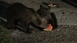 """""""Mindenhol ott vannak"""": medvék törnek be erdélyi házakba"""