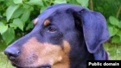 سگ های دوبرمن، سگ هايی دوست داشتنی و باهوش هستند. (عکس صورت یک دوبرمن «گوش افتاده» را نشان می دهد.)