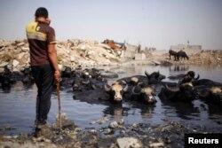 Иракский пастух со своим стадом, отдыхающим на помойке