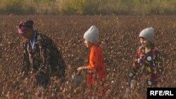 Özbəkistan rəsmiləri ölkədəki uşaqlardan zorla pambıq yığımında da istifadə edirlər