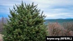 Ялівець у Кримських горах