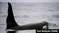Косатка у берегов Камчатки, архивное фото