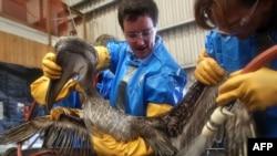 Pelikan spašen iz naftom zagađene vode Meksičkog zaliva, maj 2010.