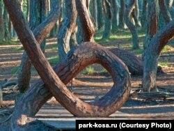 """Танцующий лес"" на Куршской косе"