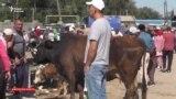 «Купи двух коров». А цена вопроса?