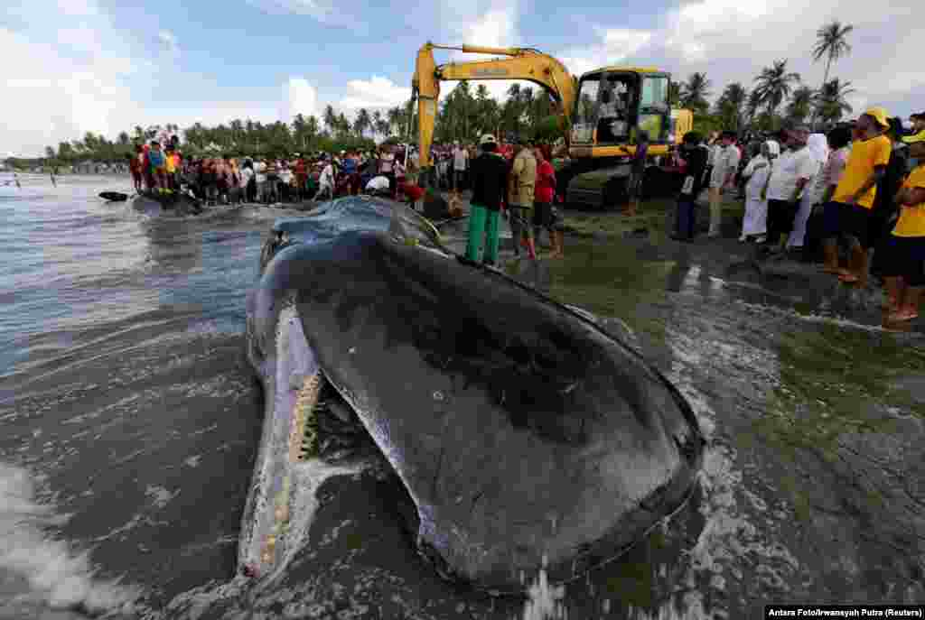 Workers use heavy machinery to remove a dead sperm whale, one of four to die after becoming stranded on a beach in Aceh Besar, Aceh Province, Indonesia. (Reuters/Antara Foto/Irwansyah Putra)