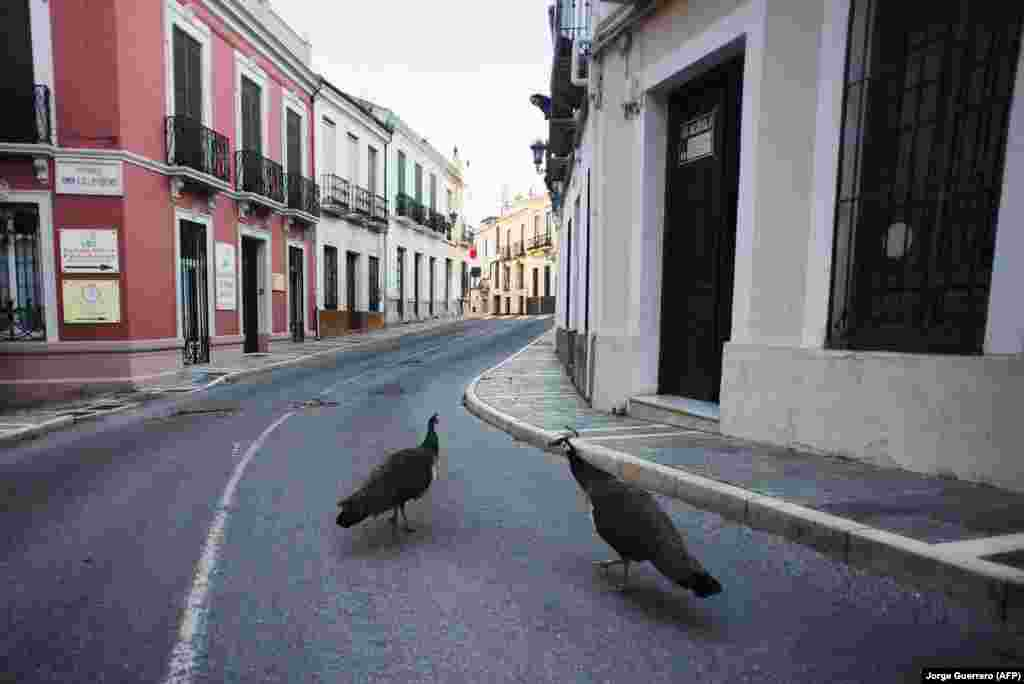 Peacocks in an empty street in Ronda, Spain, on April 3.