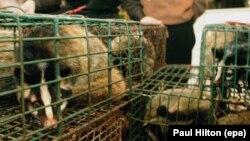 Një lloj i maceve (civet) duke u shitur për mish në një dyqan në Guangzhou në jug të Kinës.