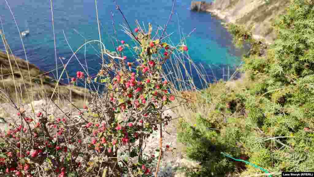 Красные ягоды кустарника контрастируют с синевой моря