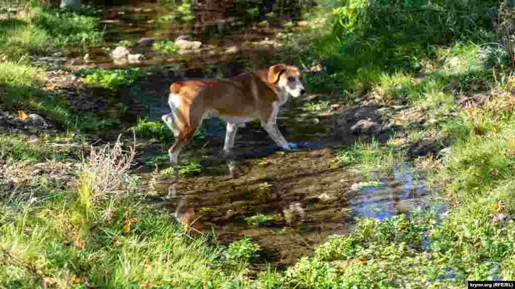 Сільський пес легко долає річку Суаткан вбрід