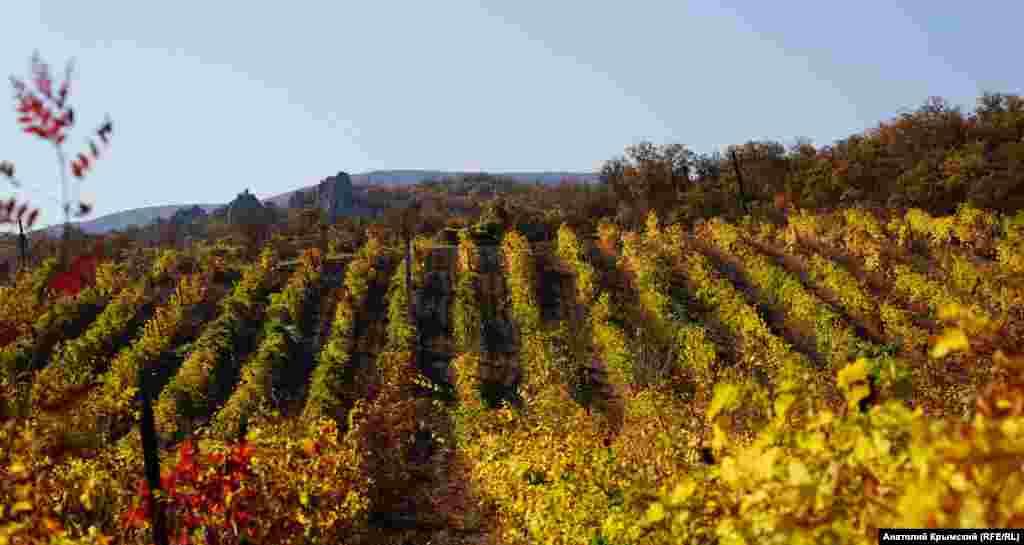На винограднике местного отделения «Массандры»