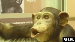 Шимпанзе по разнообразию культурных форм уступают только человеку