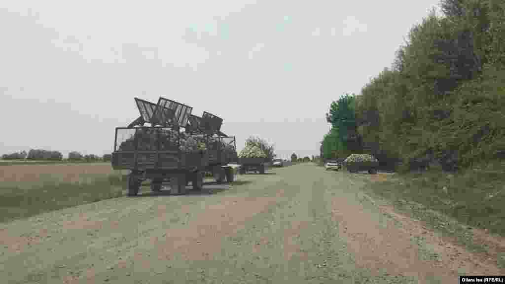 Егістік алқабының шетіндегі капуста тиелген трактор тіркемелері. Түркістан облысы, Жетісай ауданы, 29 сәуір 2020 жыл.