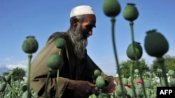 An Afghan farmer collects raw opium as he works in a poppy field in the Khogyani district of Nangarhar Province. The cultivation of opium poppies in Afghanistan is believed to have increased significantly in the past year.