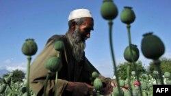 Ауған фермері апиын алқабында жүр. Нангархар уәлаяты, Ауғанстан, сәуір 2013 жыл. Көрнекі сурет