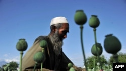 A farmer collects raw opium as he works in a poppy field in Afghanistan's Khogyani District in Nangarhar Province. According to analysts, Afghan poppy harvests have reached record levels. (file photo)