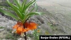 Цветок Айгуль на склонах горы Айгуль-Тоо, 16 апреля 2017 г.