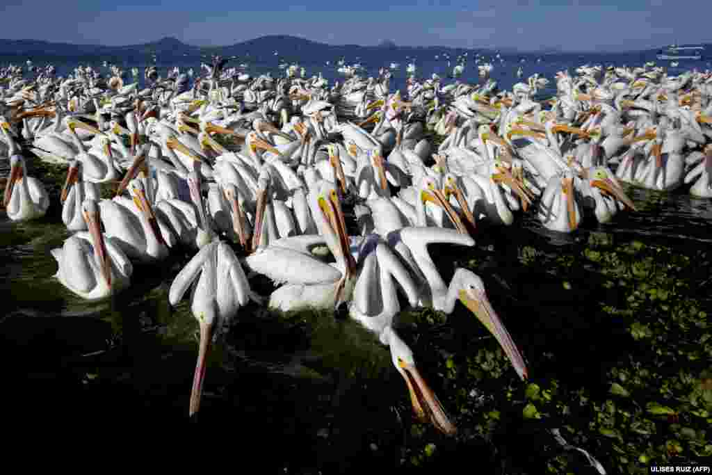 White pelicans congregate on the shore of the Chapala lagoon in Cojumatlan, Mexico. (AFP/Ulises Ruiz)