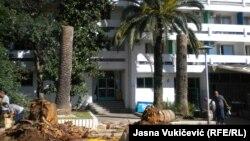Prekasno evidentirana oboljenja: Oboljele i posječene palme na crnogorskoj obali