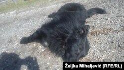 Jedan od otrovanih pasa na ulicama Glamoča, foto: Željka Mihaljević