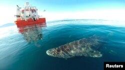 Një nga peshkaqenët e Grenlandës