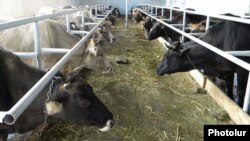 Armenia -- A cattle farm.