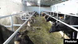 A cattle farm in Armenia