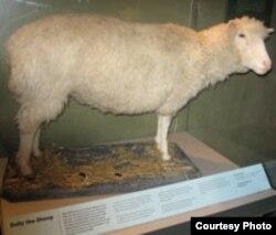 Dolly, klonirana ovca - fotografija iz arhive