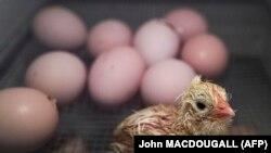 A Drezdai Műszaki Intézet Carl Gustav Carus Orvostudományi Karának laboratóriumában látható egy nemrég kikelt csirke 2016. április 14-én