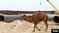 Верблюд проходит у строящегося нефтепровода Атырау – Самара.