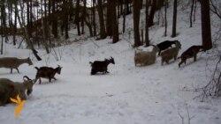 Людзі і козы хаваюцца ад паводкі ў лесе