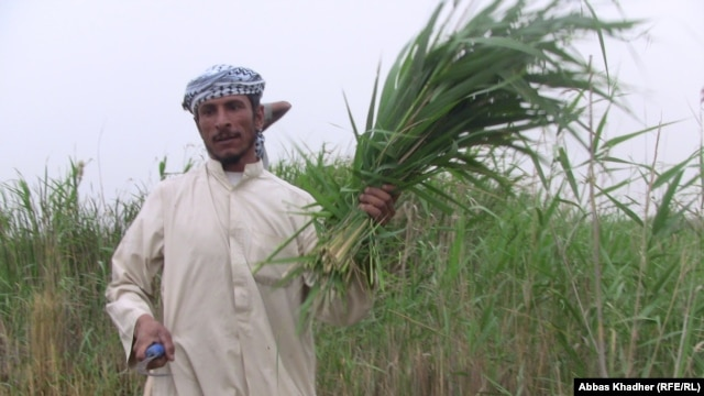 An Iraqi man, a resident of the marshlands, harvests fodder to feed his animals.