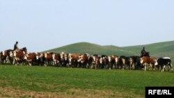 Фермеры гонят коров на выпас. Южно-Казахстанская область.