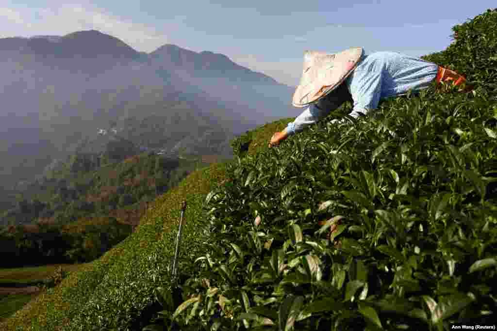Teaszüret Tajvanban. A munkásokat a leszedett termés mennyisége után fizetik, ami idén a korábbi éveknél jóval kisebb volt