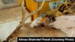 گوزن زرد ایرانی پارک پردیسان، در محیط حفاظت شده کشته شد