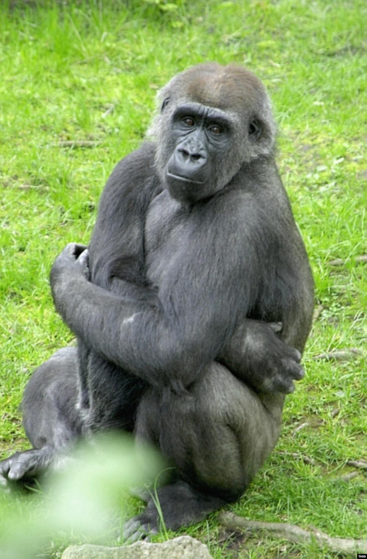 Сексуальная связь женщины с самцом гориллы