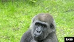 Горилла в Берлинском зоопарке.
