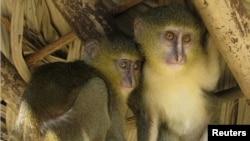 لسولا، گونه جدیدی از میمون