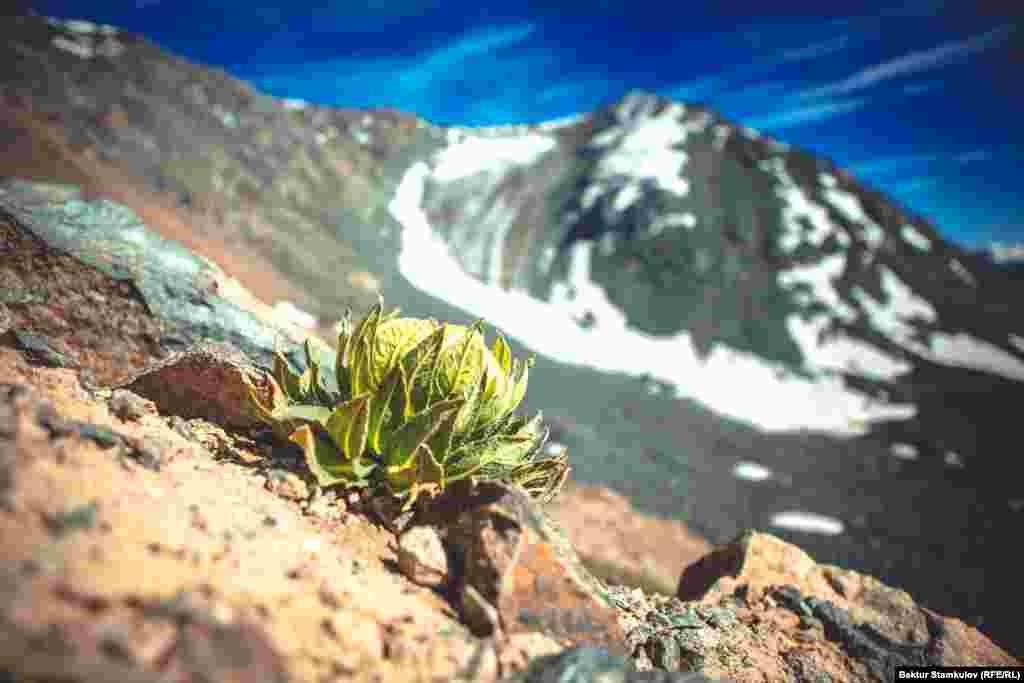 """Снежный лотос. Название этого удивительного и редкого цветка - """"соссюрея обернутая"""". Цветет в июле - августе. Цветок занесен в Красную книгу Кыргызстана."""